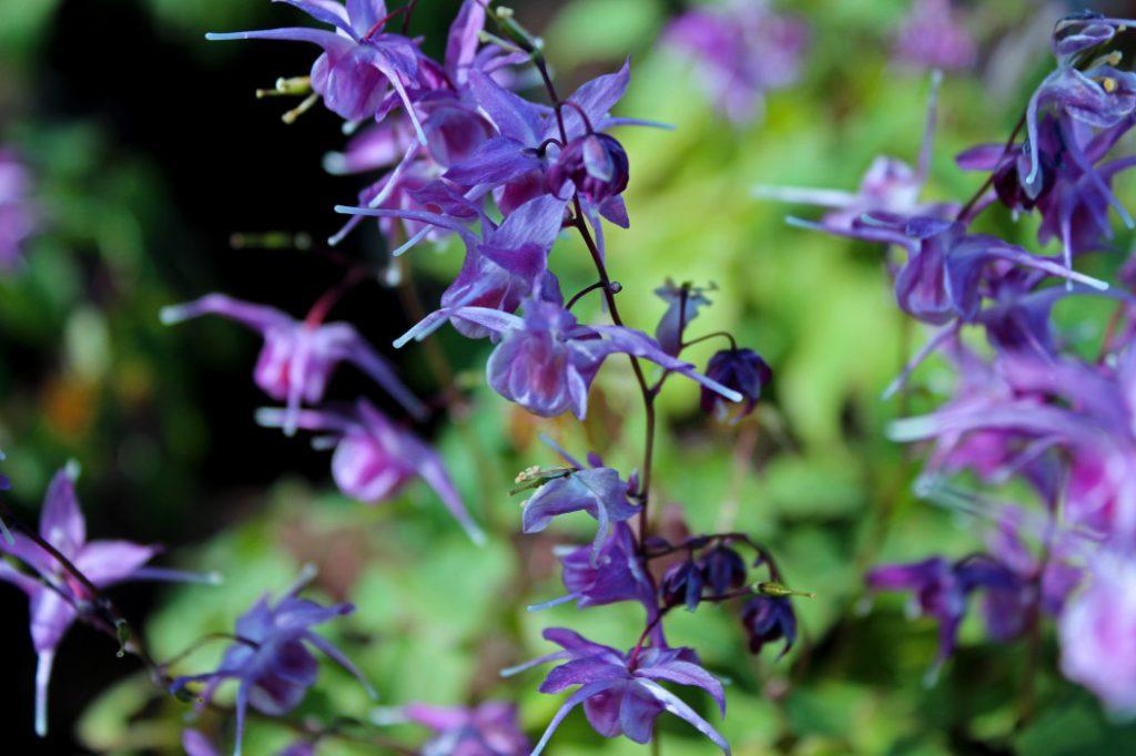 Epimedium brevicornum – Geiles Ziegenkraut